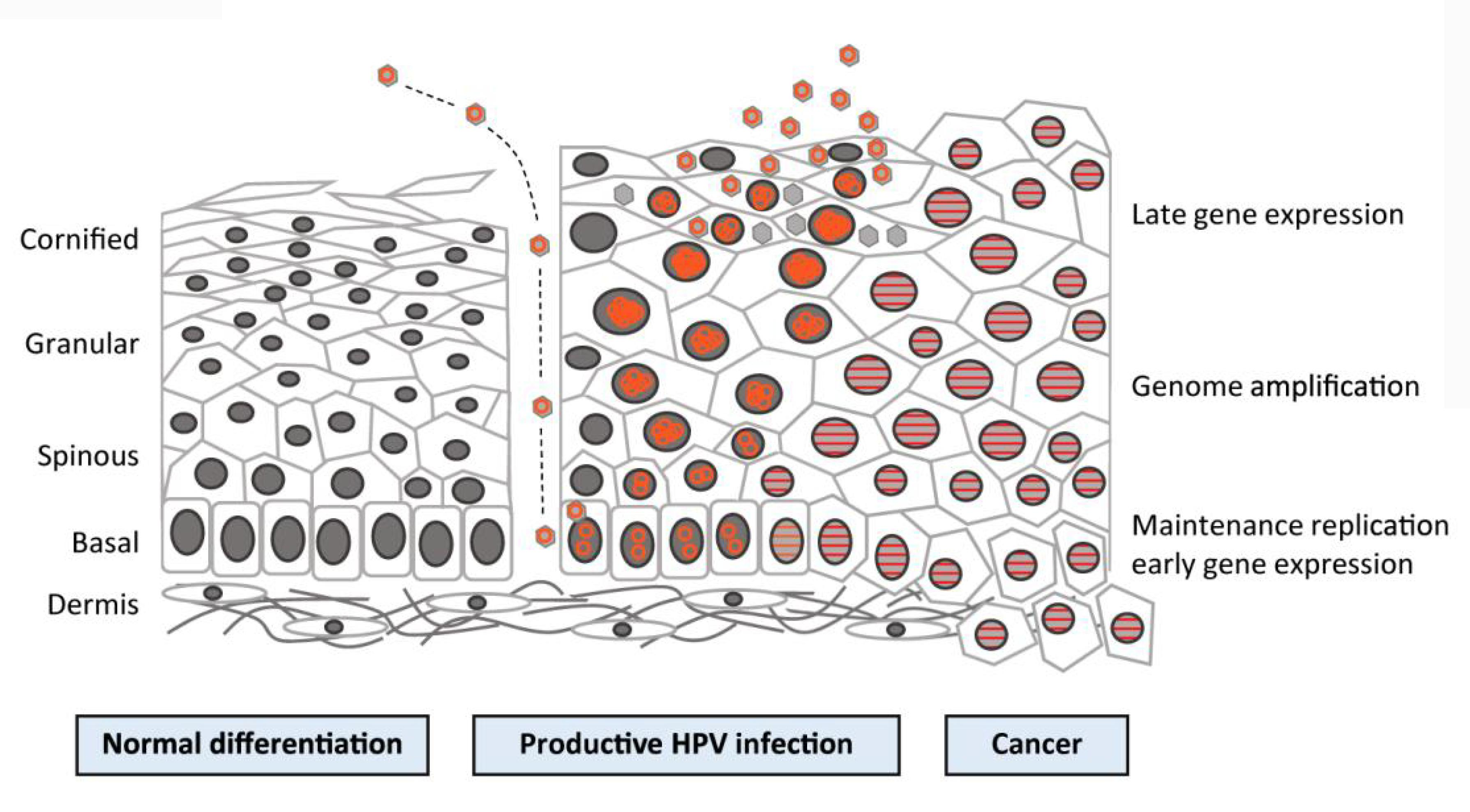 hpv initiates cancer development through increased expression of