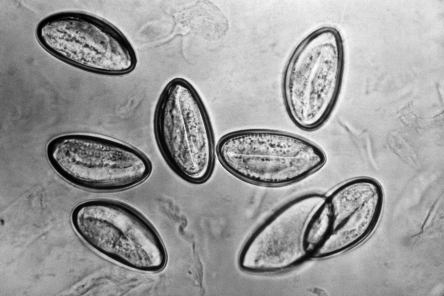 Helminths and roundworms folk