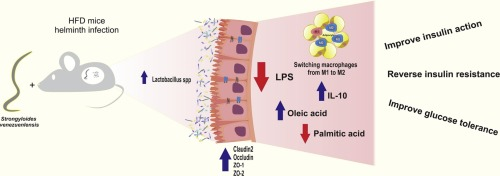 helminth infection and microbiota