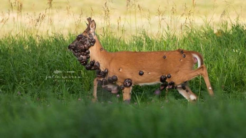 warts on a deer hpv uomo come curare