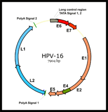 hpv latency cervical cancer papillomavirus koira